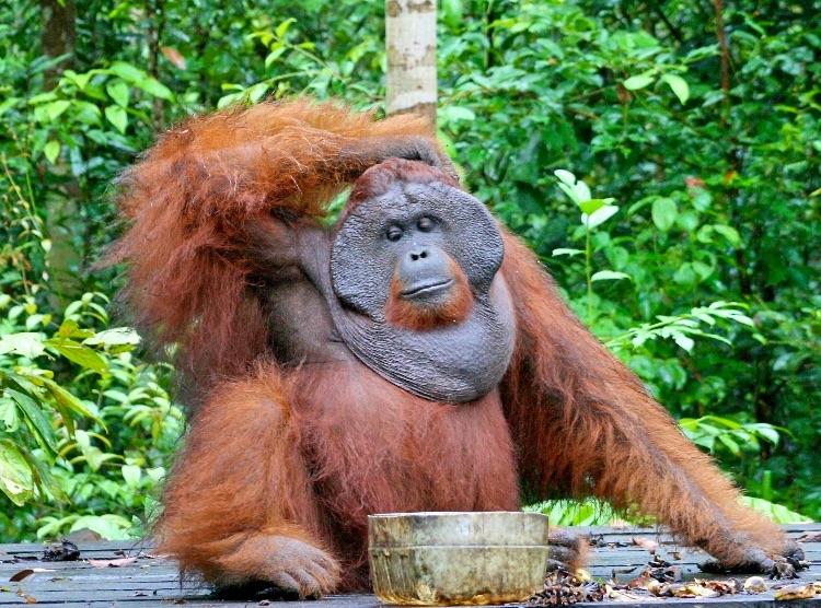 Orangutan Lifespan Bornean Orangutan Life...