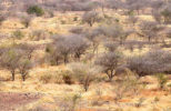 Dry forests, such as this one in Burkina Faso, and woodlands of Africa